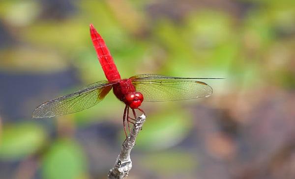和の心 20140905 蜻蛉