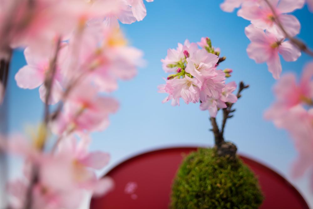 桜の盆栽の手入れや育て方を知って楽しむコツ