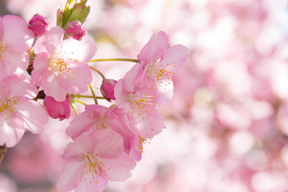 桜の種類や名前を知ってみよう!それぞれの特徴