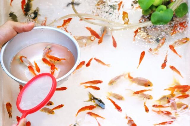意外と長い!夏祭りの定番、金魚すくいの歴史とは?
